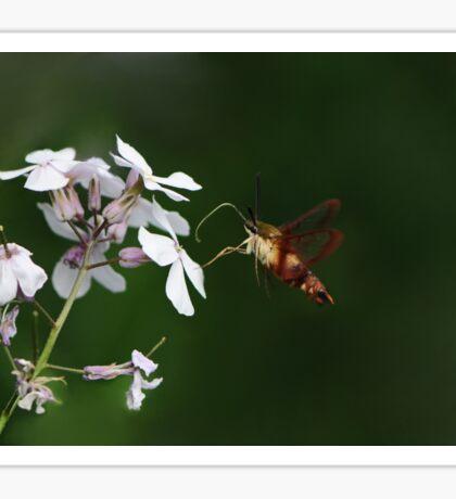 Amazing HummingBird Moth Sticker