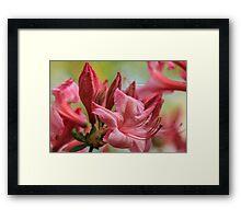 Pink Red Azalia Framed Print