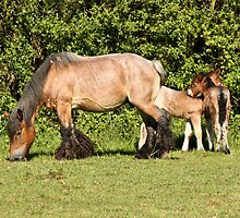 Belgian Draft Horse - New Arrivals by Cynthia Swinnen