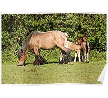 Belgian Draft Horse - New Arrivals Poster