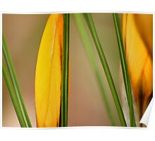 Crocus abstract macro Poster