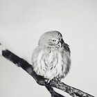 Pygmy Owl by Indea Vanmerllin