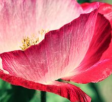 Red Poppy in Sunlight by micklyn