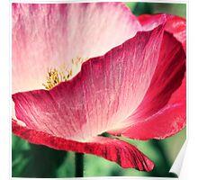 Red Poppy in Sunlight Poster