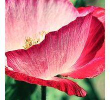 Red Poppy in Sunlight Photographic Print