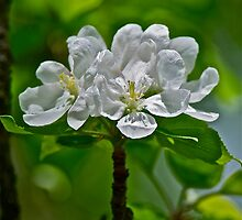 White Apple Blossom pillow 2 by Carolyn Clark