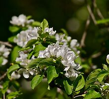 White Apple Blossoms 1 by Carolyn Clark