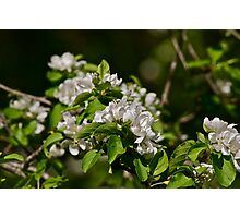 White Apple Blossoms 1 Photographic Print
