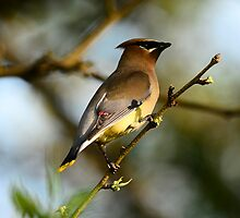 Cedar Waxwing Posing for Picture by Thomas Mckibben
