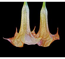 Angel trumpet flowers - Brugmanisa Photographic Print
