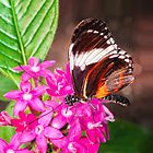 Butterfly on Pink Penta Flowers by Anita Pollak