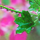 Pink Geranium Reflections After the Rain by Anita Pollak