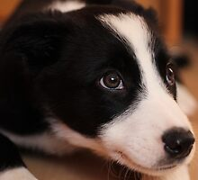 Ollie the collie by Elaine Carty