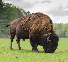 Grazing buffalo by Josef Pittner