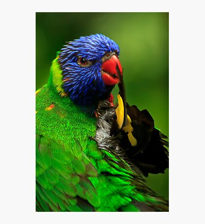Rainbow Lorikeet III Photographic Print