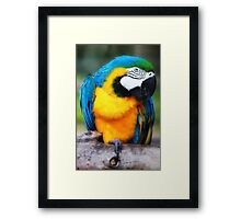 Blue and Yellow Macaw Framed Print