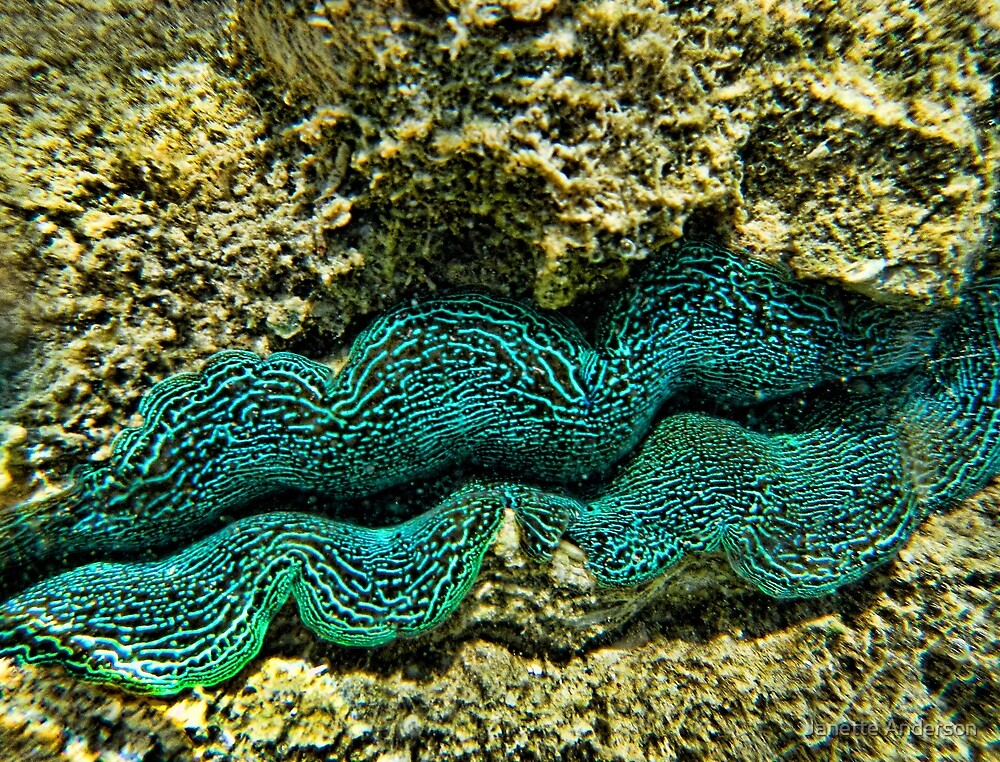 Giant Clam by Janette Anderson
