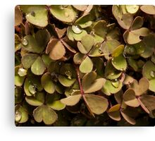 small clover with raindrops on top Canvas Print