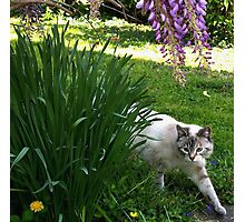 """""""On The Hunt"""" Blue Eyed Lynx Siamese Photographic Print"""