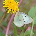 Pink-Edged Sulphur by Caleb Ward