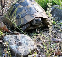 Wild Eastern Hermann's Tortoise  in Romania by Dennis Melling