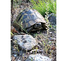 Wild Eastern Hermann's Tortoise  in Romania Photographic Print