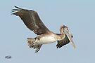 Brown Pelican by Todd Weeks