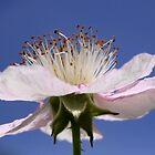 Flower of Rubus Fruticosus by Jo Nijenhuis