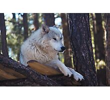 Timber Wolf Sentinel Photographic Print