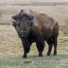 Buffalo of Yellowstone by AnnDixon