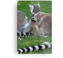 Sleepy Ring Tailed Lemur Metal Print