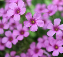 Oxalis Flower Garden by aprilann
