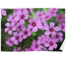 Oxalis Flower Garden Poster