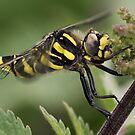 Male Golden-ringed Dragonfly by Neil Bygrave (NATURELENS)