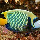 Emperor Angelfish, Mabul, Malaysia by Erik Schlogl