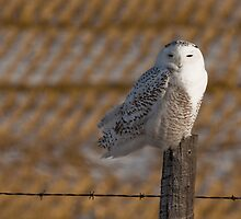 Perched Over Winter Fallow by Coniferous