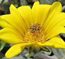 Gazania uniflora with a visitor by Lee Jones