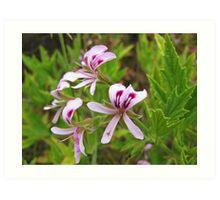Pelargonium citronellum - lemon-scented pelargonium Art Print