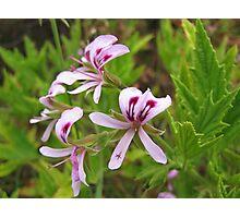 Pelargonium citronellum - lemon-scented pelargonium Photographic Print