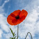 A Lonely Poppy by timpr