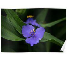 Blue Spiderwort Poster