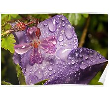 Geranium molle with campanula covered in raindrops Poster