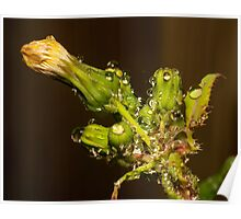 waterdrops and Aphids Poster