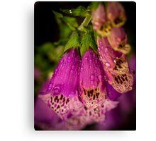 Digitalis purpurea with raindrops Canvas Print