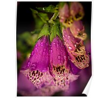 Digitalis purpurea with raindrops Poster