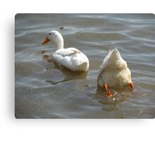 Ducks in the water Canvas Print