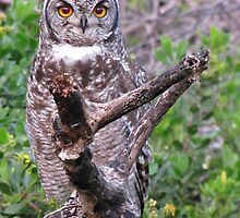 Bubo africana - Spotted Eagle Owl by Lee Jones