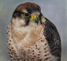 Lanner Falcon Portrait by M.S. Photography & Art