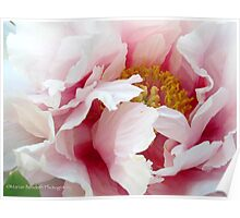 Peony country Poster