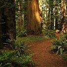 Path Through Redwoods by Barbara  Brown
